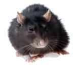уничтожение крыс